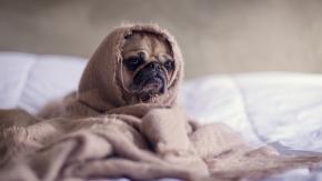 pug_dog_blanket_110448_1280x720